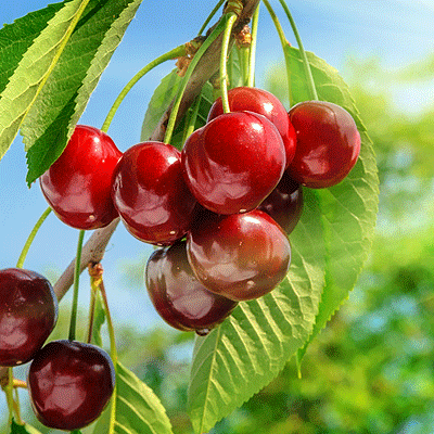 Cherries On Branch - HRS Food Applications