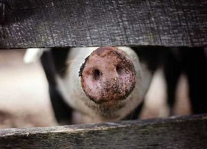 Slurry-from-intensive-pig-production-can-require-intensive-management-solutions